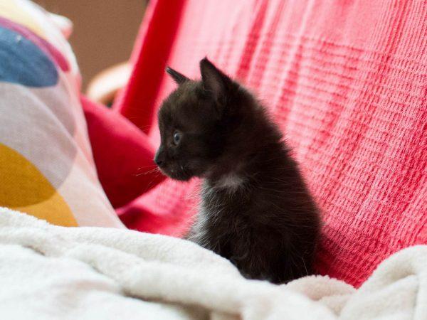 Čierna bomba mačička